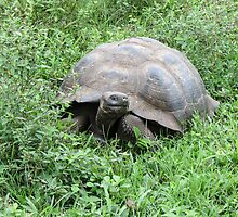 Giant tortoise 5. by Anne Scantlebury