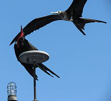 Frigate bird 9. by Anne Scantlebury