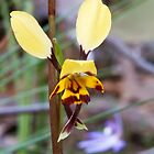 Leopard Orchid - Diuris pardina by Paul Piko