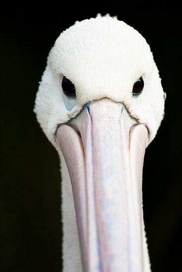 Australian Pelican by caradione