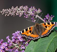 Small Tortoiseshell Butterfly by Gill Langridge