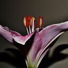 A Lily from my Bouquet by Eileen Brymer