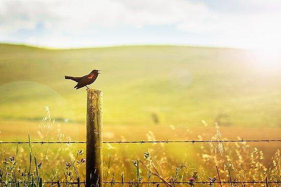 Singing Redwing by Christopher Burton
