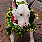 English Bull Terrier by JEZ22
