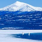 Swans on Tagish Lake in May by Yukondick