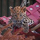 Amur Leopard Cub in Hammock by JMChown