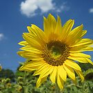 Summer Sunflower by sunsetgirl
