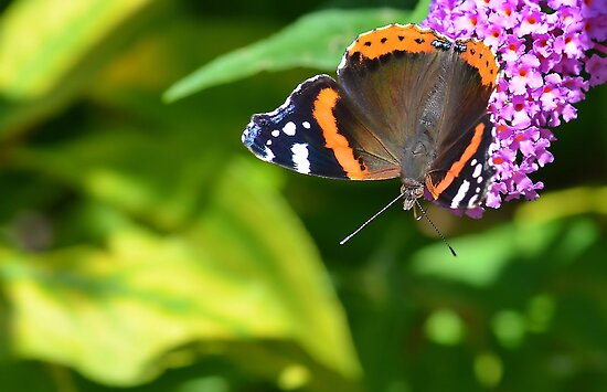 Red Admiral Butterfly  by relayer51
