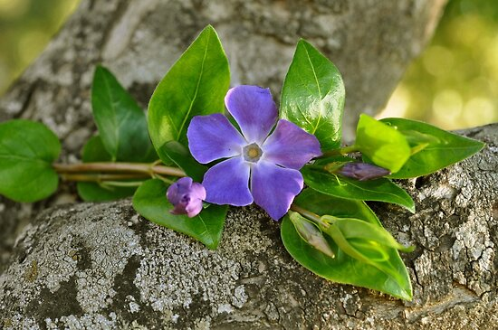 Una flor azul..... by cieloverde