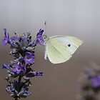 Small White by Gill Langridge