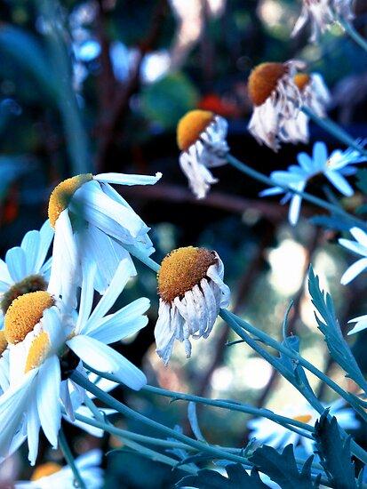 daisies by © Karin  Taylor