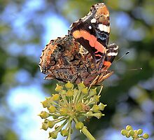 Red Admiral  by larry flewers