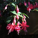 Cascading June Bride Fuchsias by Pat Yager