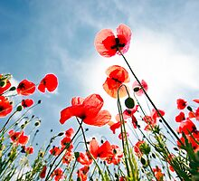 poppies on the sky by plamenx