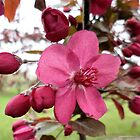 Buds and Red Blooming Flower on Crabapple Tree by Barberelli