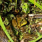 Frog in Duckweed by Barberelli