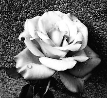 Black and White Rose by MSRowe Art and Design