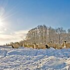 Sheep in Snow by Paul Croxford