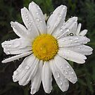 Daisy with water drops by flips99