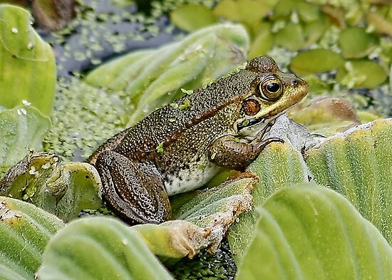 Froggy by AnnDixon