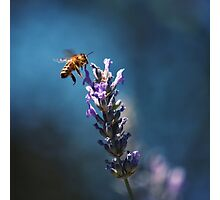 Bee in Blue Photographic Print