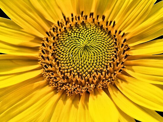 Sunflower up close  by Lee d'Entremont