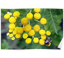 bee on yellow tansy Poster