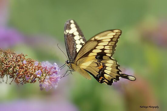 Giant Swallowtail by KatMagic Photography