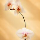 Moth Orchid by Joel McDonald