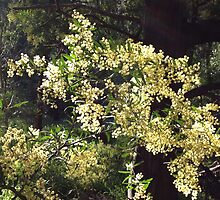 wattle by jayview