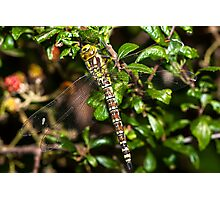 Southern Hawker Photographic Print