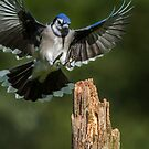 Blue Jay Landing Gear by Bill McMullen