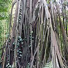 Large hanging roots of a tree in the rainforest inside Botanic garden in Singapore by ashishagarwal74
