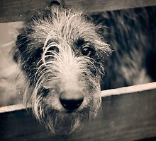 Wee Deerhound by Lynn Benson