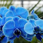 Blue Orchids by Debbie Oppermann