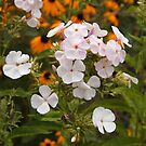 Phlox out in Front by Linda  Makiej