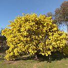 A sure sign of spring, &#x27;Cootamundra Wattle&#x27; native,a paddock tree. by Rita Blom