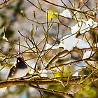 Dark-eyed Junco by Otto Danby II