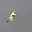 Ascension - River Murray Great Egret, Renmark, South Australia by Mark Richards