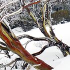 snow gums I by geophotographic