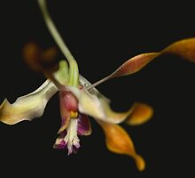 Dendrobium Gloucester Sands by andrachne