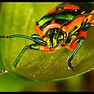Metallic Shield Bug (Scutiphora pedicellata) by Kerrod Sulter