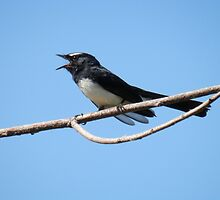 Willy Wagtail by lynareid