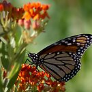 Monarch Butterfly on red flower by Sven Brogren