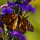 Monarch Butterfly on a purple flower by Sven Brogren
