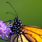 Really close view of Monarch Butterfly by Sven Brogren