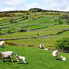 Kerry Hill Sheep by Elmacca