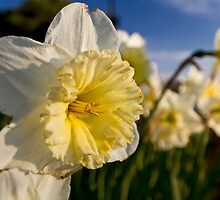 daffodils close up by Sven Brogren
