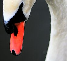 Close up Swan by RoughCutMatt