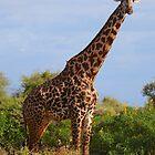 Masai Giraffe by Roger  Mackertich